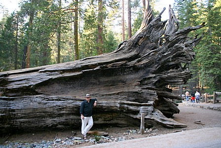 Meg sjølv framom eit rotvelt Sequoiatre: The Fallen Monarch