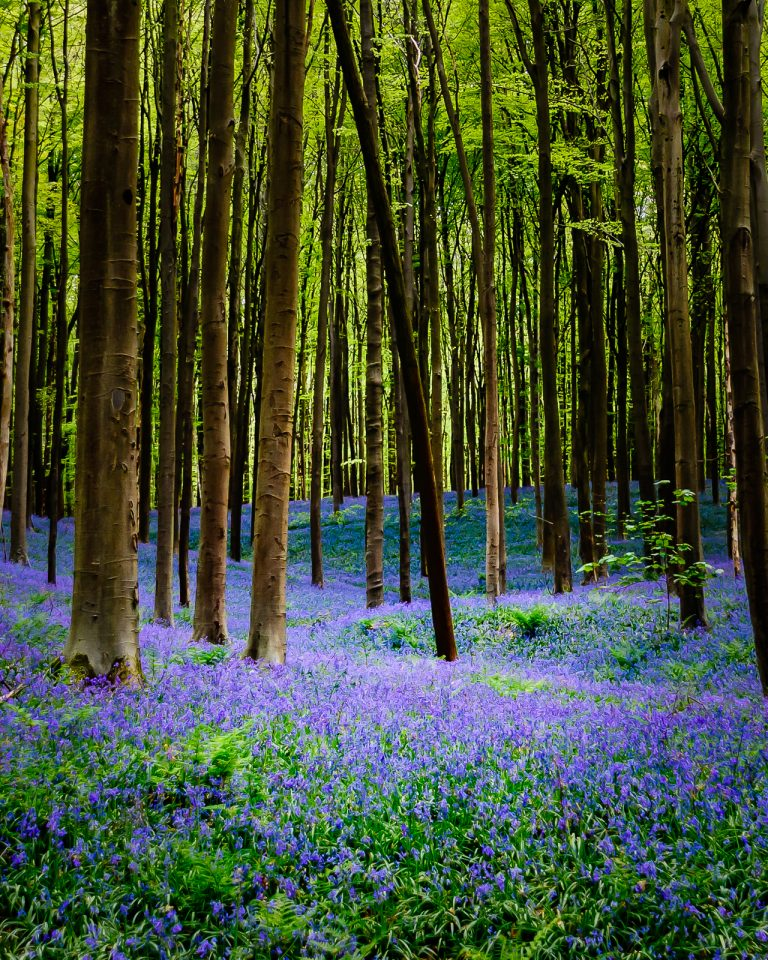 The bluebells of the Halle Forest
